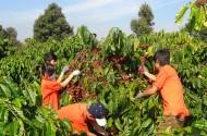 Cà phê Việt Nam tràn ngập thị trường Đức